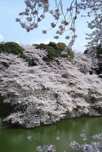 Sakura (Ciliegi in fiore nel Parco di Shinjuku, Chidorigafuchi - Tokio)